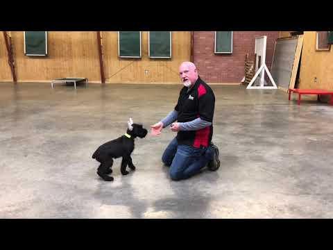 Elite Level Giant Schnauzer Puppy 'Cherry' 12 Wks For Sale W/Additional Training