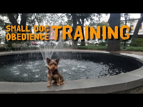 The best obedience training for small dogs.  A 6.5 pound Yorkie, before and after training video