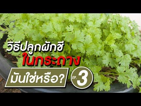 วิธีปลูกผักชีในกระถาง แบบง่ายๆ | มันใช่หรือ? EP.3