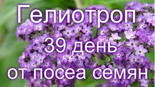 Гелиотроп,  39 день от посева семян