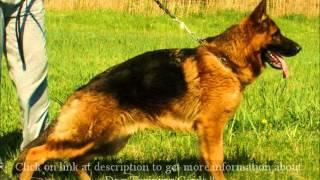 German Shepherd Puppy Training Tips - 8 Important Tips To Ownership German Shepherd Dog