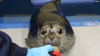 You're about to fall in love with this blind seal pup