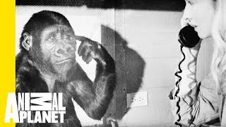A Tribute to Koko the Gorilla thumbnail