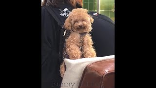 Funny Dog - Funny Husky and Poodle - Funny Dogs' Life Videos Compilation 2019