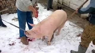Прибор для убоя свиней