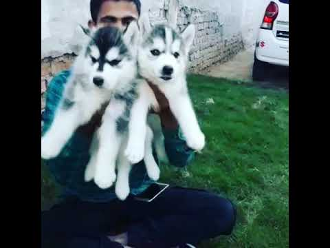 Siberian Husky female puppies for sale in Delhi Dwarka call 9212 501 257 price for the puppies 35000