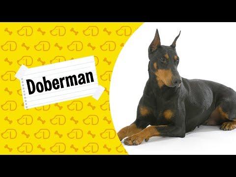 Fatos sobre o DOBERMAN!