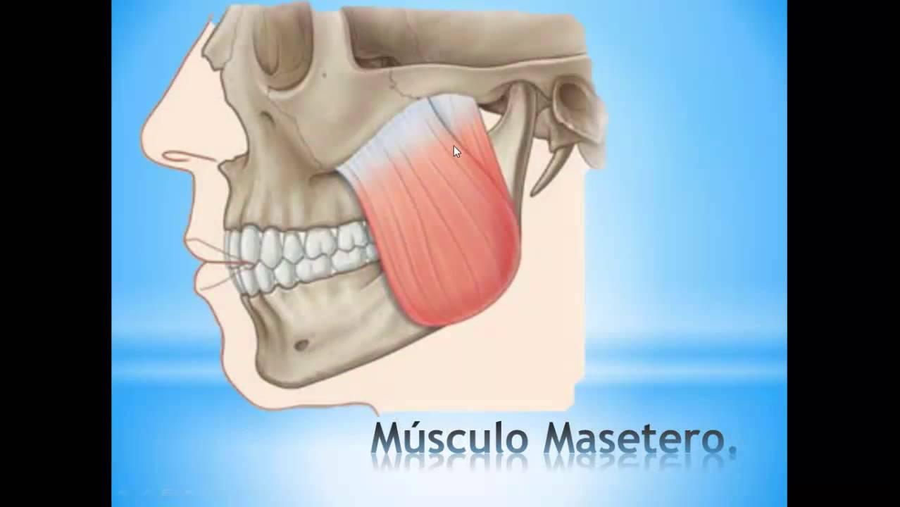 Músculos de la masticación. - YouTube