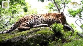 Дальневосточный леопард Тайфун \ Amur leopard Typhoon