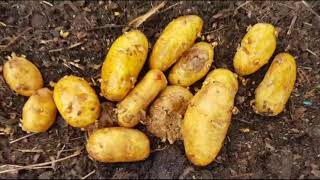 Free Rubbish Dump Food - Yummy Rotten Maggot Infested Potatoes!