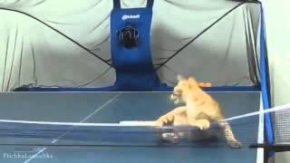 Кошка играет в теннис