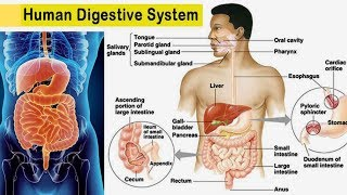 How does the digestive system function ...