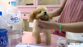 Big Teacup Poodle #114 Face Check