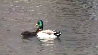 Mallard Duck Mating Behavior