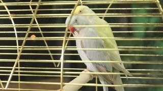 Все О Домашних Животных: Цветной Ожереловый Попугай