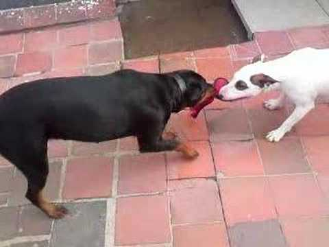 English Bull Terrier Vs Rottweiler YouTube - Terrier and rottweiler