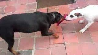 English Bull Terrier Vs Rottweiler