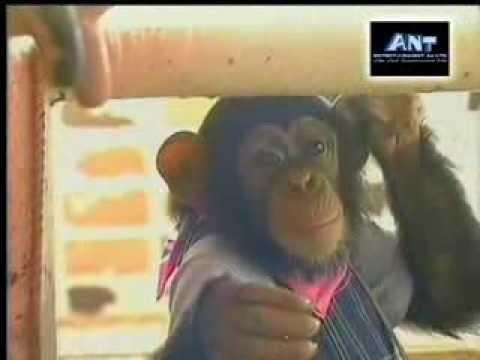 ขำกลิ้งลิงกับหมา (V.10 Full ) ตอน ไปช่วยงานในฟาร์มโคนมที่ฮอกไกโด