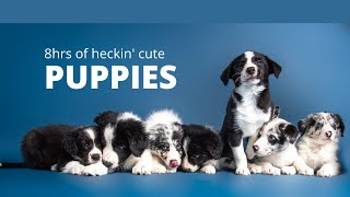 CALMING PUPPY PLAYLIST! 8 hours, AD FREE, full of cute puppy photos!