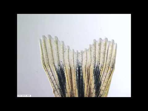Regeneration  Zebrafish Grows Back A Damaged Fin In 14 Days