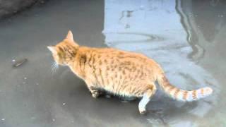 Кот рыбачит или намывает золото.AVI