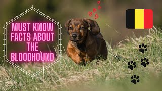 Getting To Know Your Dog's Breed: Bloodhound Edition