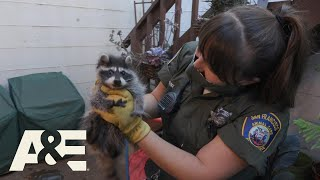 Live Rescue: Baby Raccoon Reunited With Mother (S3) | A&E