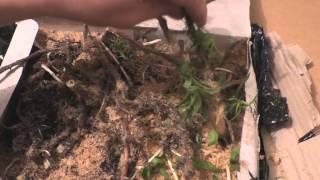 Как посадить Иван чай(, 2016-04-18T20:29:00.000Z)