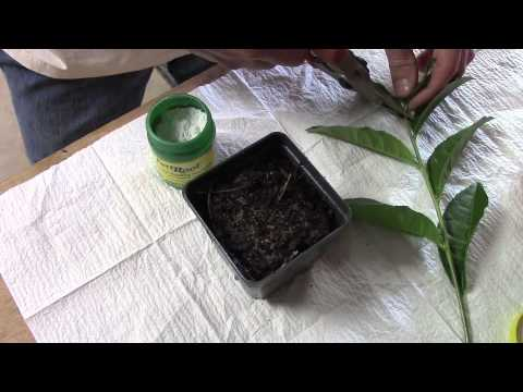 Tea Propagation From Cuttings