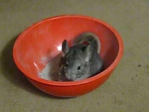 Chinchilla Dust Bath In A Bowl