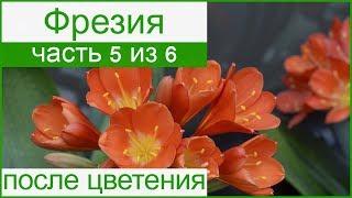 Фрезия после цветения: уход и хранение