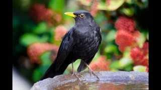 Детское развивающее видео. Голоса птиц. Черный дрозд.