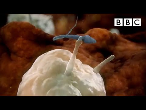 Sperm attacked by woman's immune system - Inside the Human Body: Creation - BBC One