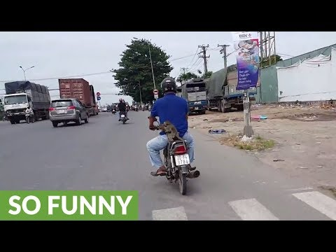 Two monkeys hitch a ride into town on back of motorcycle