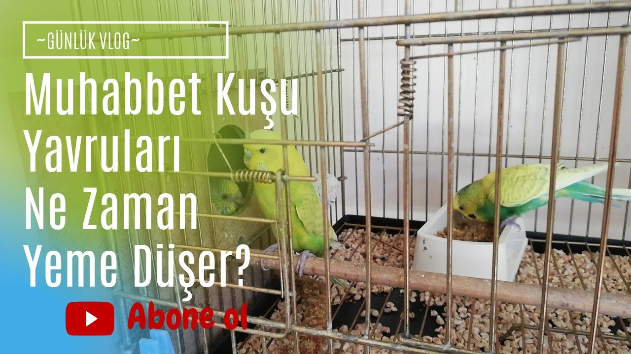 Muhabbet Kuşu Yavruları Kaç Günlükken Yeme Düşer?