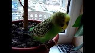 Говорящий волнистый попугайчик кеша.