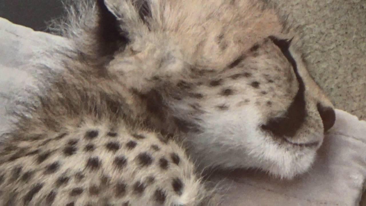 Newborn Baby Cheetahs