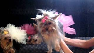 Beyoncé - Single Ladies Put A Ring On It ~priceless Yorkie Puppies Shaking Their Booties