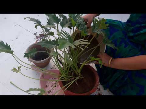 Care of Xanadu plant || Care, Propagation, Repotting and ... Zanadu Philodendron House Plant Lime on