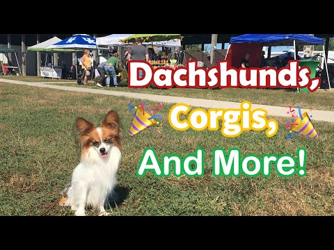 Local Dog Festival with CORGIS, DACHSHUNDS, and MORE! // Percy the Papillon Dog