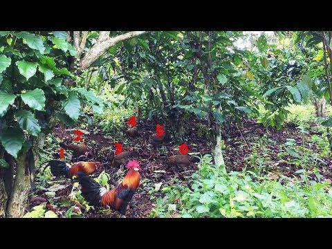 WOOWW KERENN !!! Liat Ayam Hutan Datang Mendekat Dalam Satu Rombongan Menyerangg Ayam Pikat