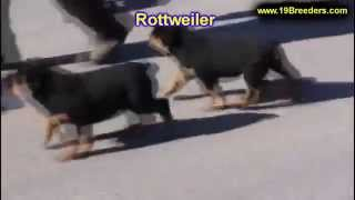 Rottweiler, Puppies,for,sale, In,orlando Florida, Fl, Deltona,melbourne,palm Coast,