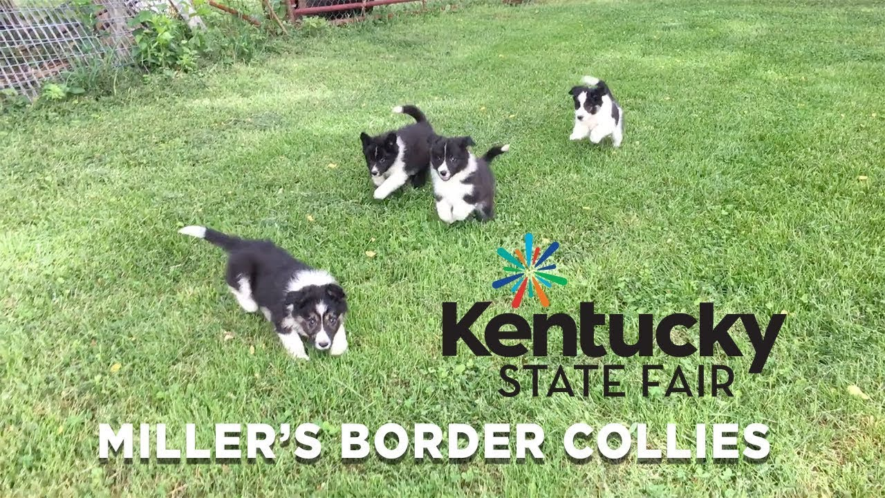Miller's Border Collies at the Kentucky State Fair