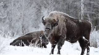 Zimowe żubry na naszej polanie - Agroturystyka Relax