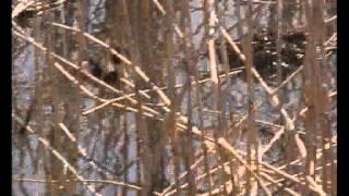 Не известный мне вид уток строят гнездо 2(, 2015-04-13T05:14:11.000Z)