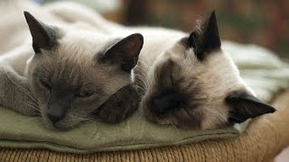 Проблемы связанные с течкой. Как успокоить кошку.