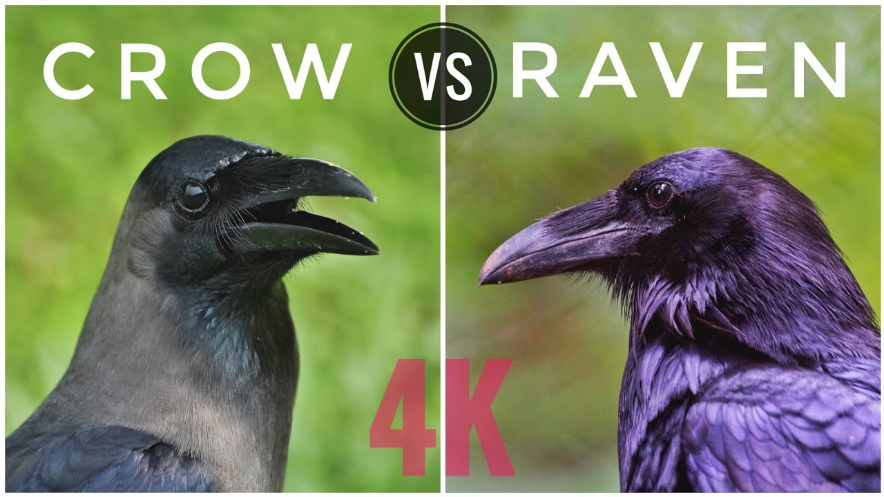 How To Identify If Its Crow Or Raven Window Birding Bird Watching Video 4k Youtube