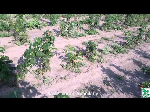 Сорта малины и малины ремонтантной Евразия, Оранжевое чудо, Дочь Геракла, Лашка описание.