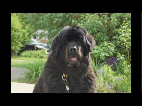 Pictures of Dogs.  Pictures and video clips of Skyla the Newfoundland