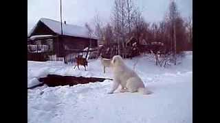 Альбус выгуливает козочек